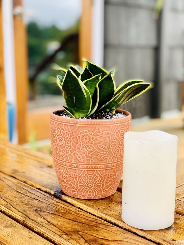 Live indoor Snake 🐍 house plant in a textured ceramic planter flower pot—firm price