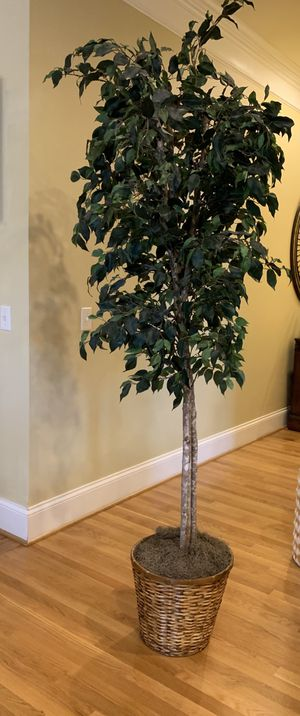 Silk Tree plant for Sale in Franklin, TN