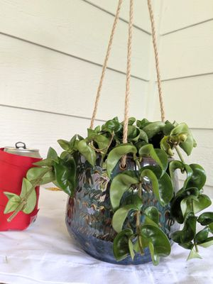 Hoya Hindu Rope Wax Plants in Hanging Ceramic Planter Pot- Real Indoor House Plant for Sale in Auburn, WA