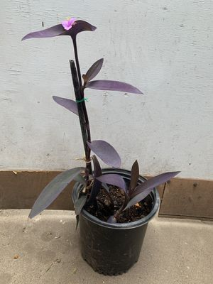 Tradescantia Pallida 'pale puma' plant for Sale in Santa Ana, CA