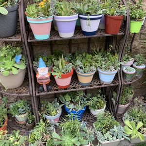 Assorted Succulent Plants for Sale in Seal Beach, CA