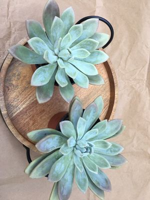 Succulents in 4 inch pot / 3 available only for Sale in Placentia, CA