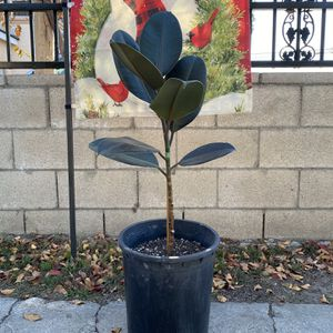 Burgundy Rubber Plant/ Tree for Sale in Santa Ana, CA