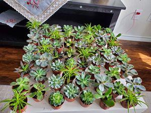 Succulents for Sale in Cross Roads, TX