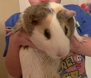 Guinea pigs & cage for Sale in Evansville, IN