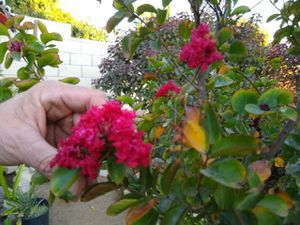 (2) Crape Myrtle trees for Sale in Upland, CA