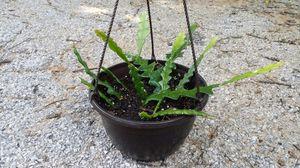 Ric Rac, fish bone cactus succulent in hanging basket $20.00 for Sale in Fort Worth, TX