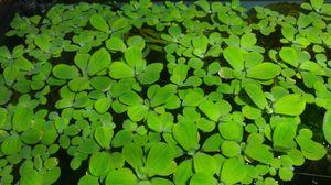 Aquarium floating plant- Water Lettuce (Pistia) for Sale in Tacoma, WA