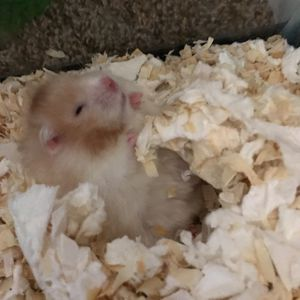White Hamster for Sale in Columbia, SC
