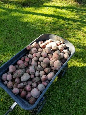 New potatoes for Sale in Vancleave, MS