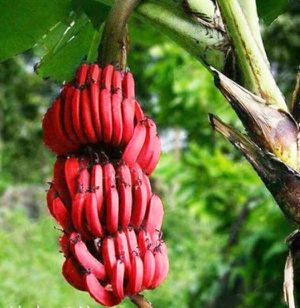 Red bananas tree musa for Sale in Los Angeles, CA