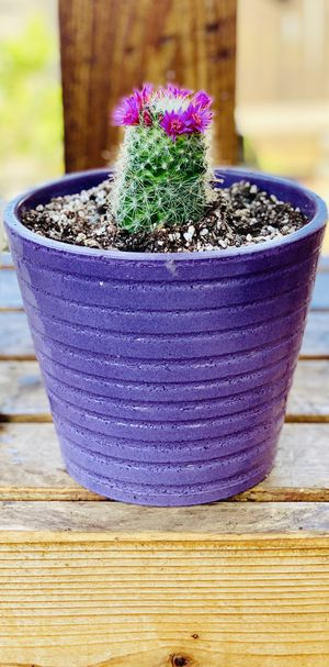 Live indoor small Mammillaria cactus house plant in a textured ceramic planter flower pot—firm price for Sale in Renton, WA