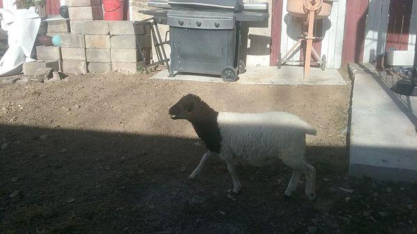 Goat 3 months old pls get now