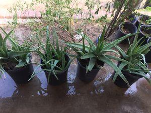 ALOE VERA PLANTS HUGE PLANTS SÁBILA HERMOSA GRANDE PLANTAS MEDICINALES for Sale in Phoenix, AZ