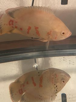 Large Albino Oscar & 20 Gallon Tank Full Setup for Sale in Charlotte,  NC