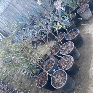 Árboles de Nectarines Blancos🌳 $25 cada uno / White nectarines trees 🌳$25 each for Sale in Fresno, CA