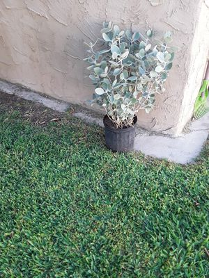 Free large succulent for Sale in Santa Fe Springs, CA