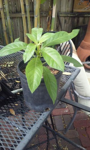 Miracle plant longevity spinach diabetes lowers blood sugar for Sale in Tampa, FL