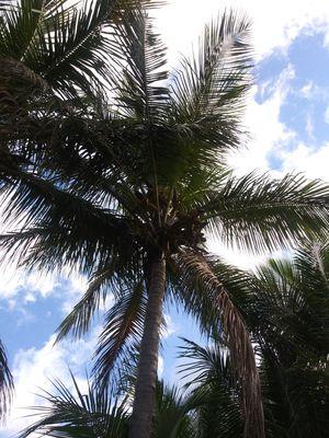 Coconuts for Sale in Riviera Beach, FL