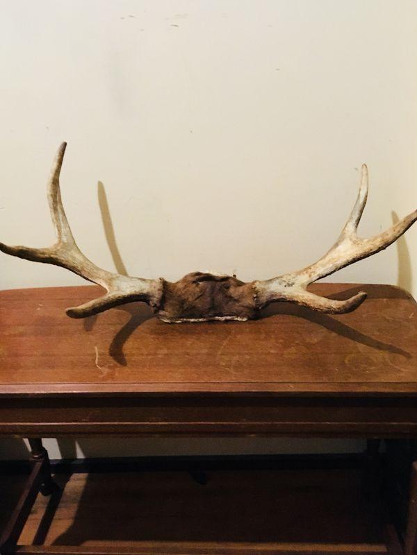 Elk, moose, and deer antlers