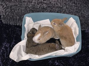 BABY BUNNYS LOOKING FOR NEW HOMES for Sale in Cheshire, CT
