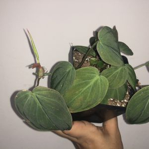 Philodendron Micans for Sale in Hialeah, FL