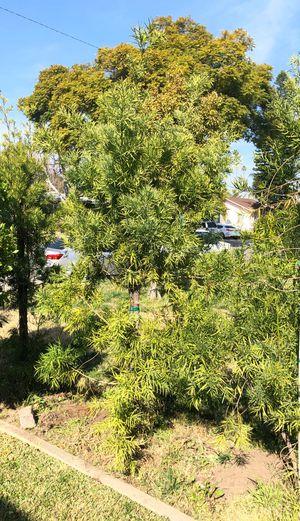 Fern Pine for Sale in Downey, CA