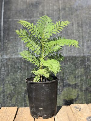 Jacaranda Tree for Sale in Wildomar, CA