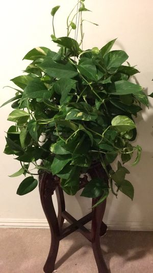Beautiful and Fresh Golden Pothos Plant - Plant only - PLANTER IS NOT INCLUDED for Sale in Garden Grove, CA