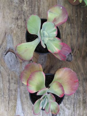 Variegated flapjack succulents for Sale in Holiday, FL