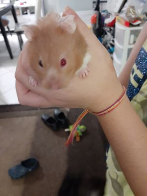 10$!! Russian bear hamster and cage for Sale in Pompano Beach, FL