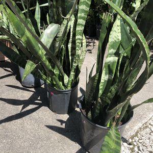 Snake Plants for Sale in Fort Lauderdale, FL
