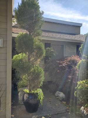 Live 10 ft Spiral Topiary Tree for Sale in Hillsboro, OR