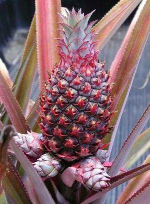 Hawaiian red pineapple plants for Sale in Winter Haven, FL