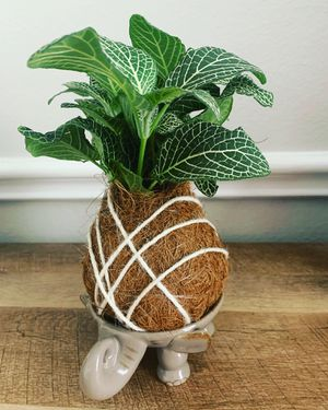 White Ruby Kokedama 100% natural for Sale in Houston, TX