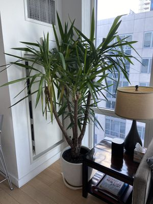 Potted Plant 79 inch. for Sale in New York, NY