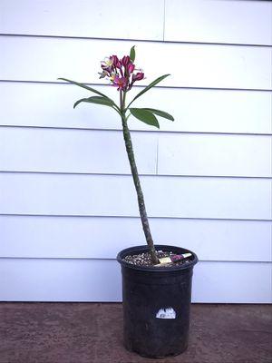 Jungle Jack's 'Enchanted' Plumeria for Sale in Martinez, CA