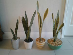 Decorative live snake Plant each $8 for Sale in Orlando, FL