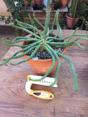 Succulent plant for Sale in Chula Vista, CA