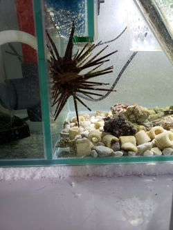 Saltwater Sea Urchin for Sale in Tempe,  AZ