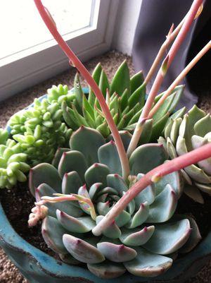 Succulent arrangement for Sale in Bountiful, UT