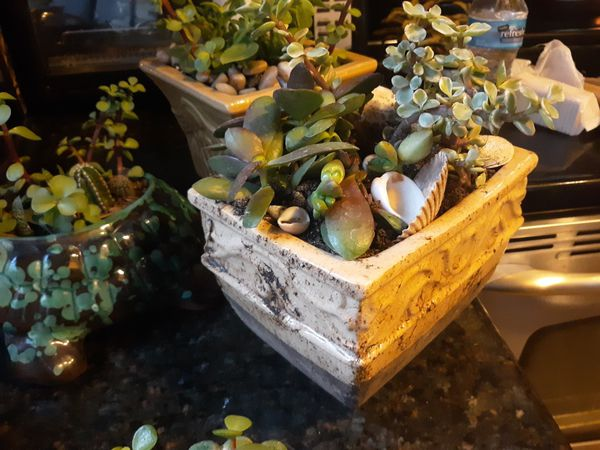 Adorable succulent pot with aptenia and elephant bush