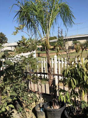Queen palms for Sale in Santa Ana, CA