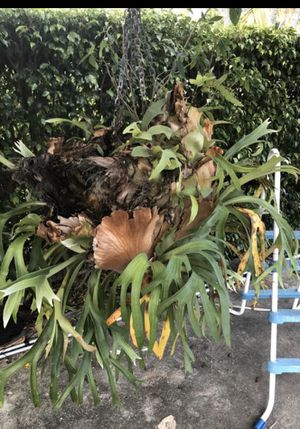 Staghorn for Sale in Cutler Bay, FL
