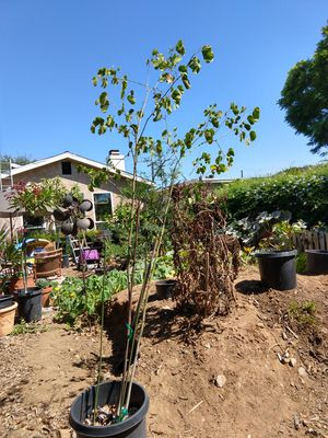 Hong Kong Orchid Tree 6' Double Trunk for Sale in San Diego, CA