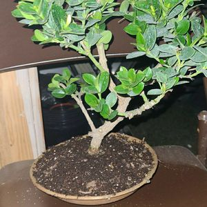 Bonsai for Sale in Whittier, CA