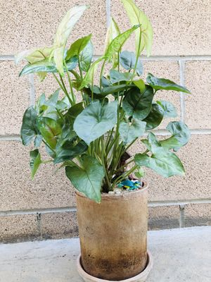 Beautiful plant with great pot for Sale in Chino, CA