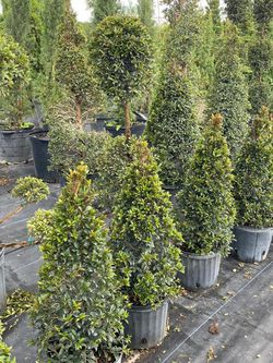 🌲EUGENIA TOPIARY ON SALE! From $25.00 for Sale in Miami,  FL