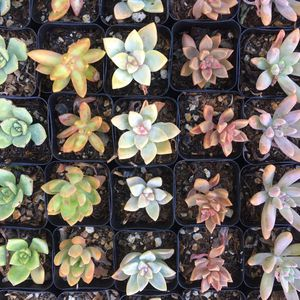 Succulent 25 pack for Sale in Anaheim, CA
