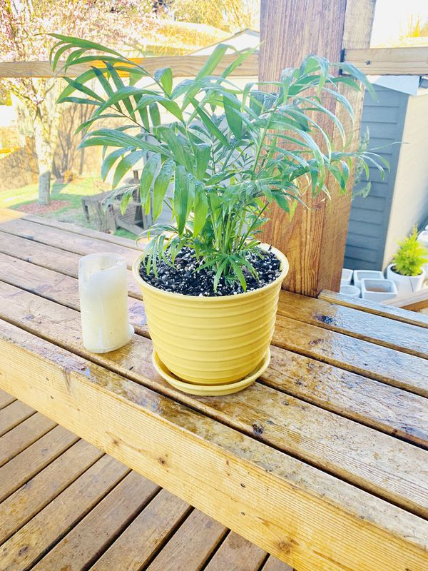 Live indoor Neanta Bella Palm plant in a textured ceramic planter flower pot with attached base—firm price